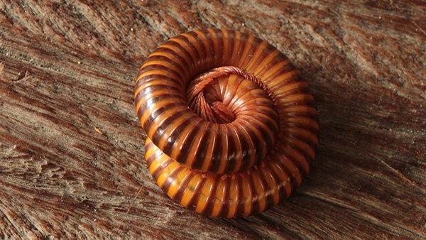 a millipede curled up on stone