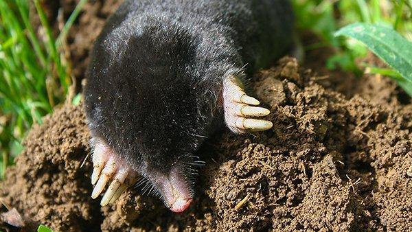 a mole digging up a lawn
