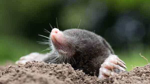 mole digging a hole