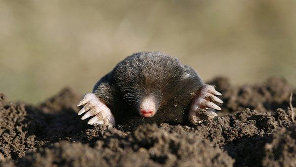 a mole burrowing out od the ground
