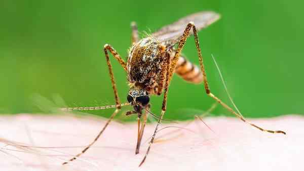 mosquito bitting a residents skin
