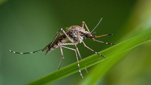 mosquito perched on grass