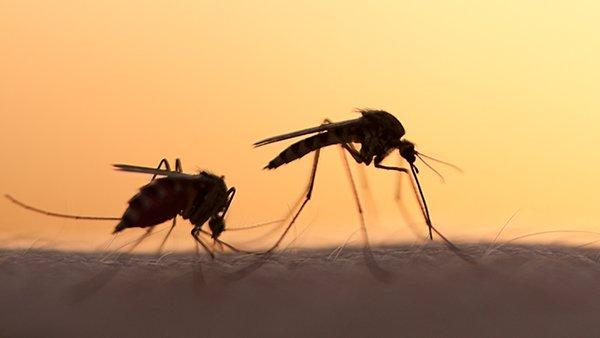 two mosquitoes biting