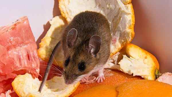 a house mouse in a compost pile