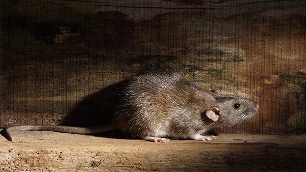 a norwegian rat in a home basement