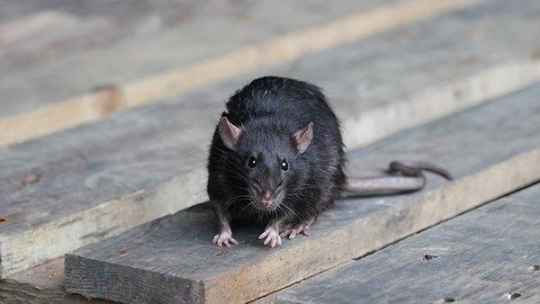a norway rat on wooden panels