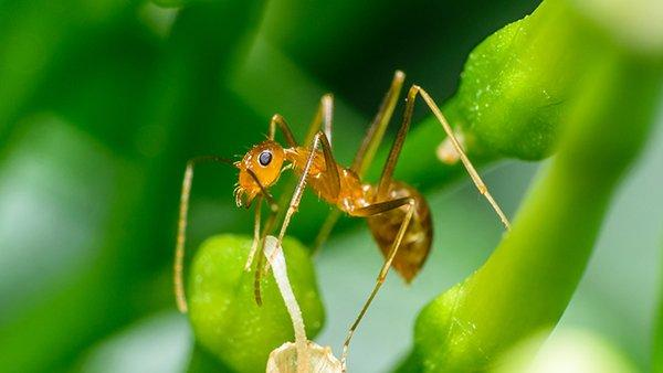 a pharoh ant crawling on plants