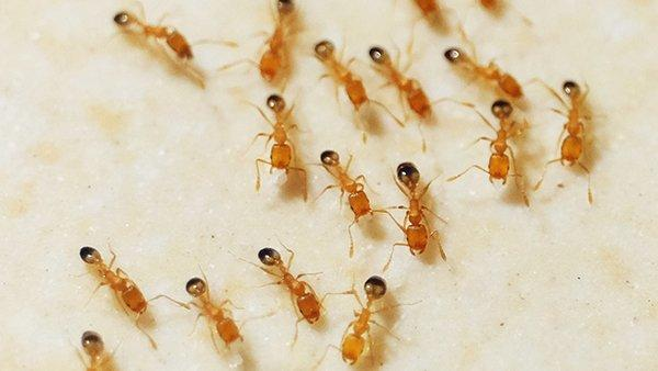 pharaoh ants infesting a home