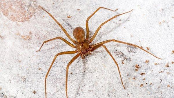 close up of brown recluse on counter