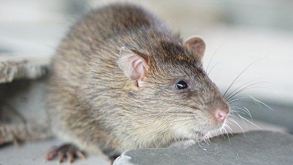 close up of rat