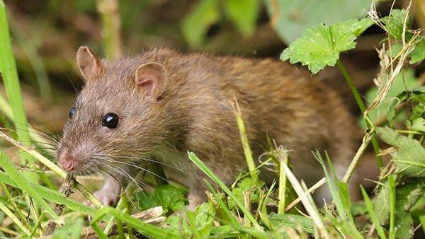 mice in grass