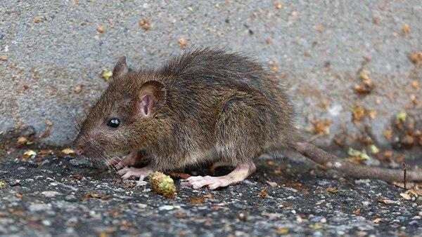 a rat next to cement wall