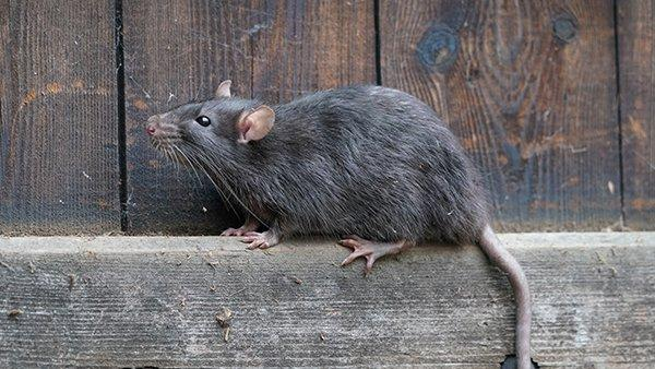 a rat on wooden fence