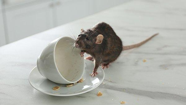 a rat crawling on a coffee cup in a kitchen
