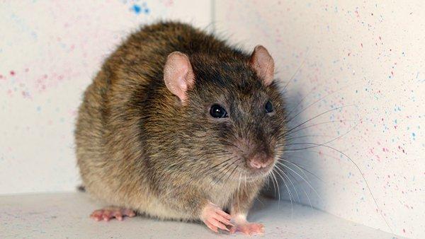a rat inside of a house
