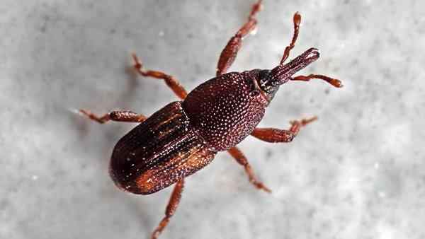 a rice weevil in a food pantry
