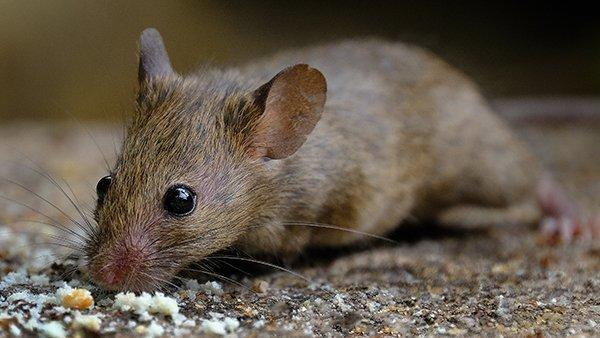 a mouse looking for food in a fort worth home