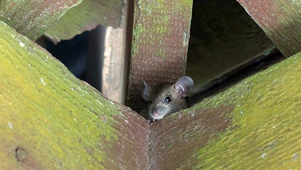 roof rat in the rafters