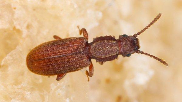 sawtooth grain beetle on food