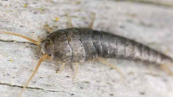 silverfish crawling on a wooden surface