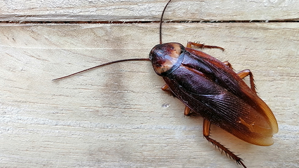 up close image of a smokey brown cockroach crawling on a wooden floor