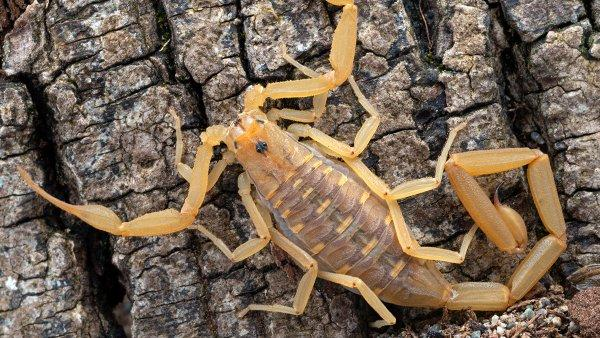 an up close image of a striped black scorpion crawling on a tree