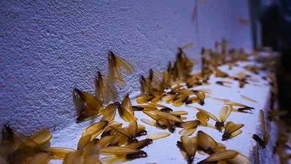 a swarm of winged termites on a concrete slab