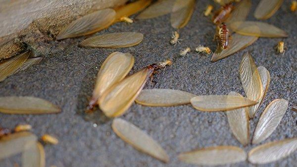 termites and swarmers on the ground