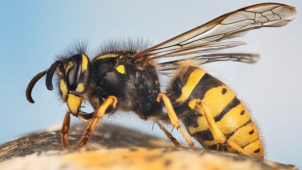 a wasp on a piece of fruit