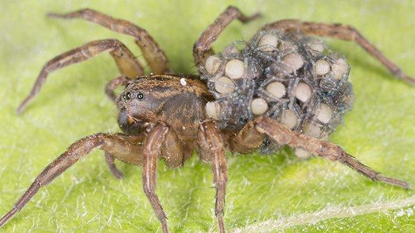 close up view of a wolf spider outside