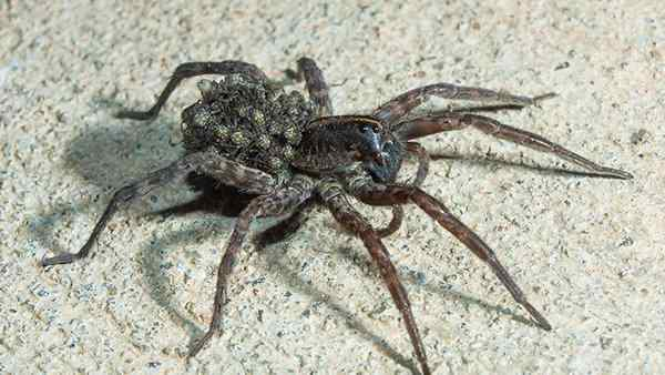 a wolf spider with its young