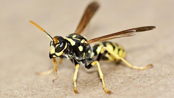 a yellowjacket on a flat surface