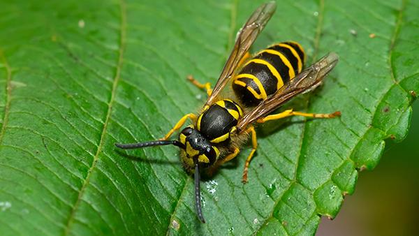 a yellow jacket wasp on a plant leaf