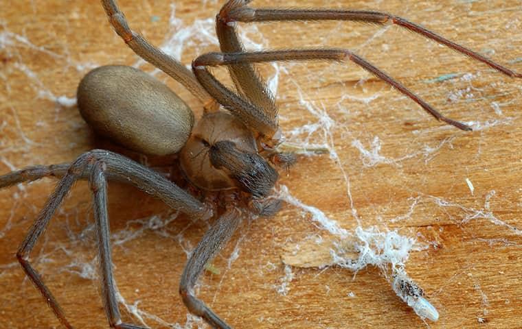 dead brown recluse spider