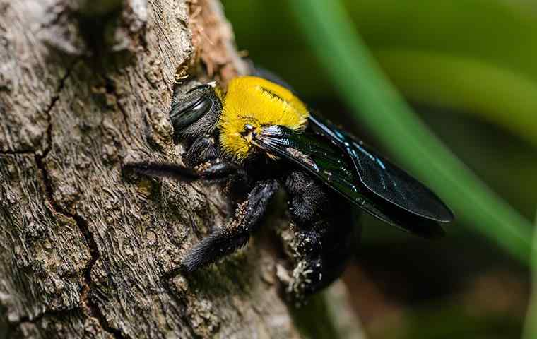 carpenter bee boring a hole in the bark of a tree