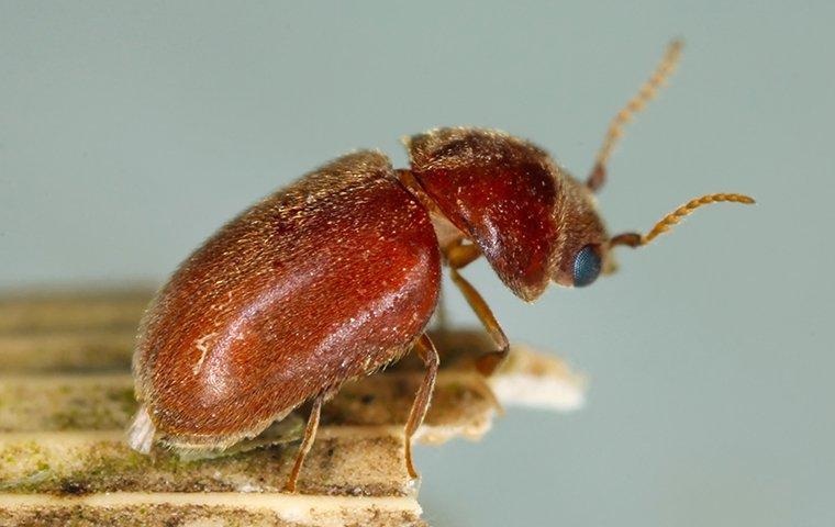 cigarette beetle on cracker