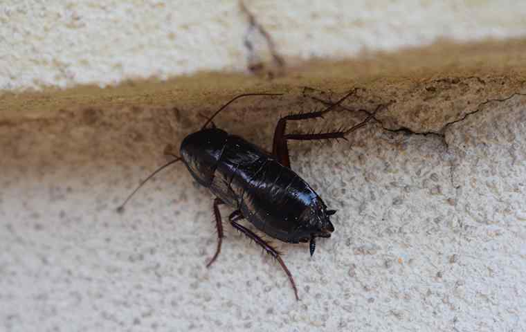 an oriental cockroach hiding in home