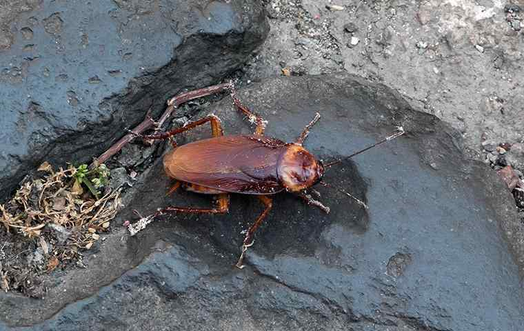 a dirty american cockroach on a rock