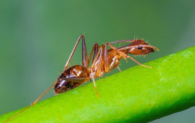 crazy ant on plant