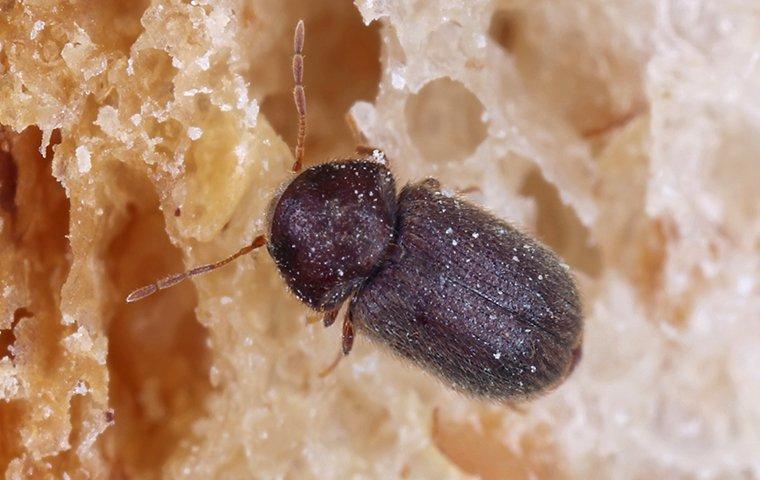 drug store beetle eating bread