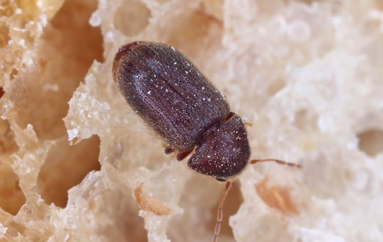 drug store beetle contaminating food