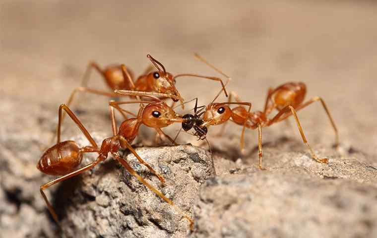 three fire ants eating a little black ant