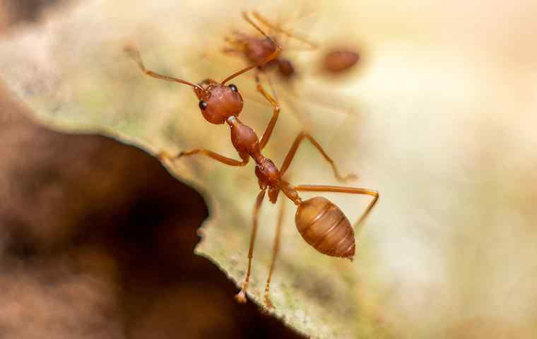a fire ant on a leaf