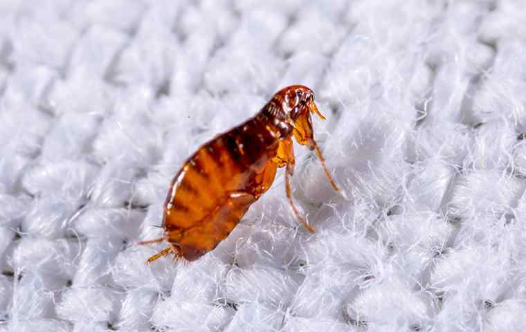 a small flea on a piece of fabric
