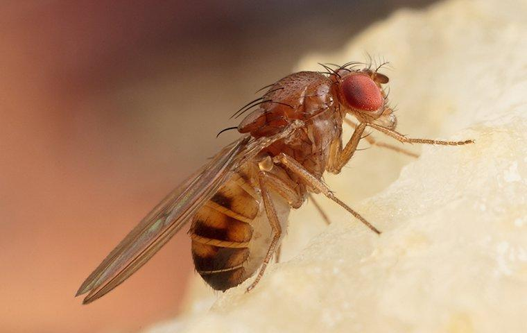 fruit fly eating a pear