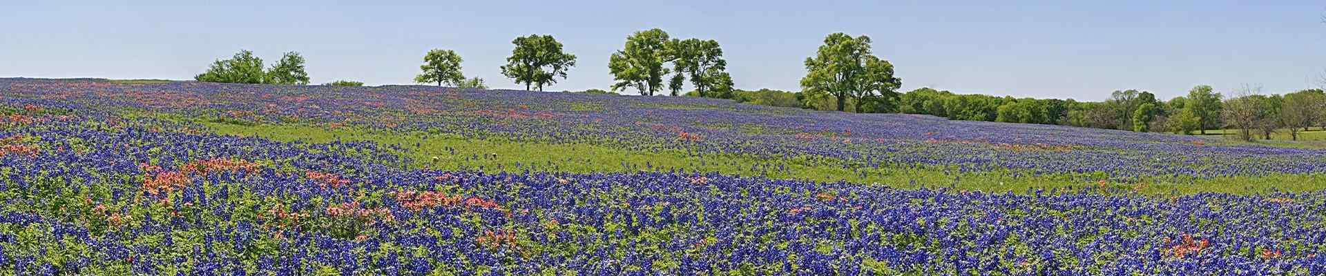 a field of blue bell flowers in copper canyon texas