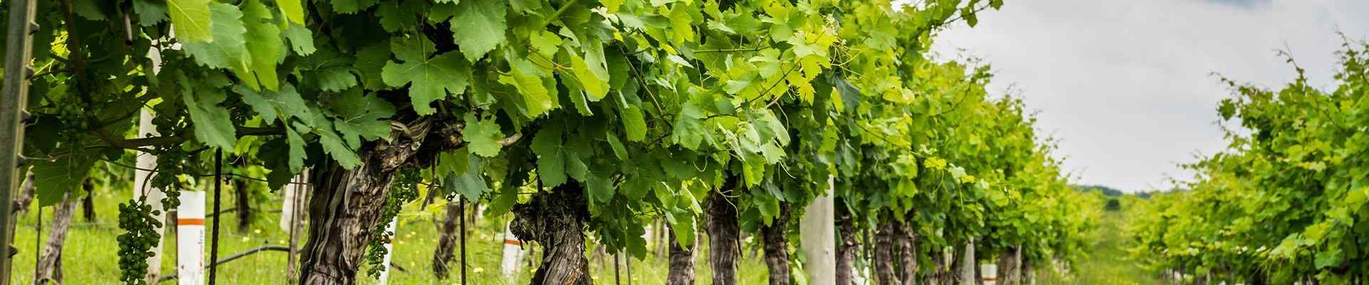 a view of a vinyard in grapevine texas