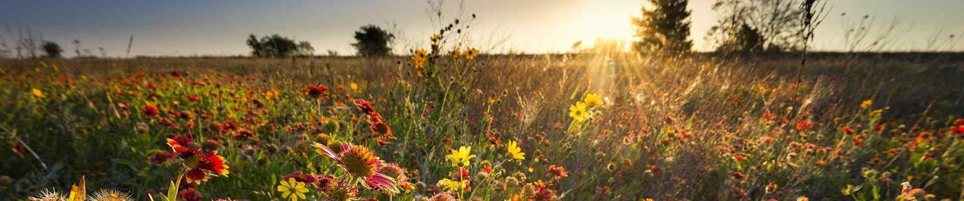 a field of flowers at sunset in haslet texas