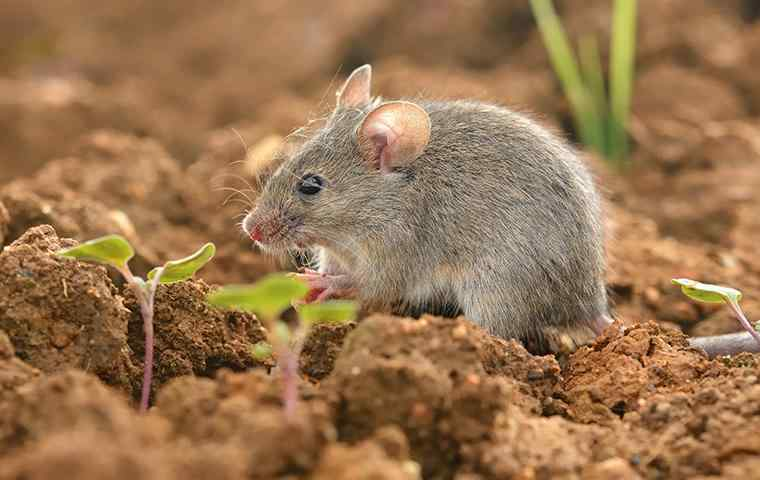 house mouse sitting in dirt outside home