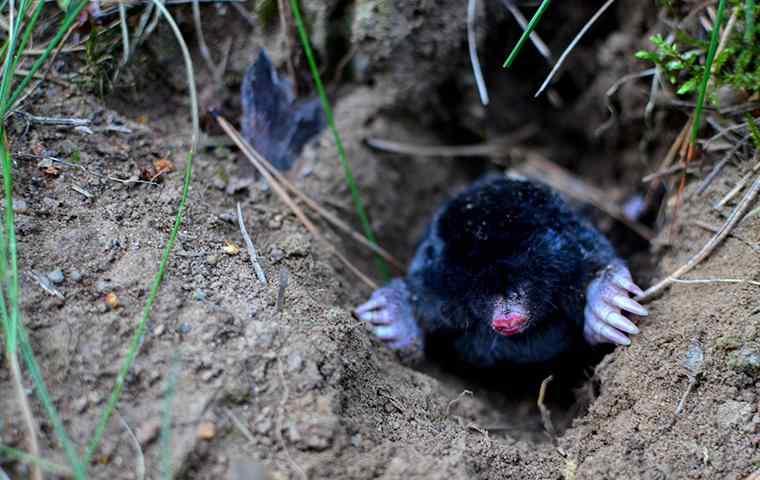 a mole digging up a backyard